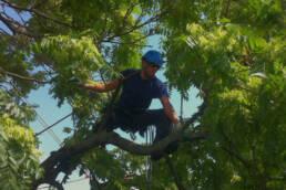 Bachmann Baumpflege Baumpflege Baumschnitt